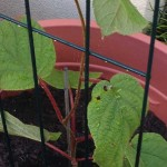 Kiwi Fruit - Female