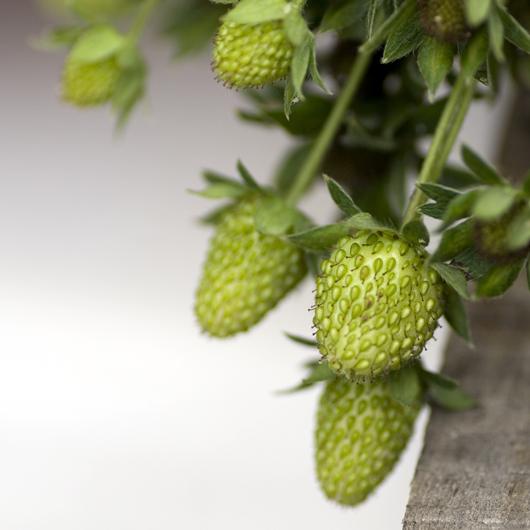 Unripe Strawberries