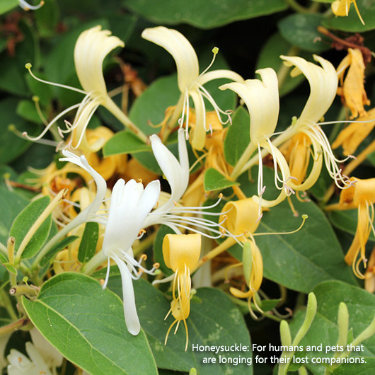 Honeysuckle | Flower Essences for the Loss of A Pet