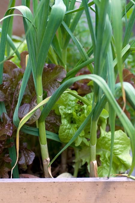 Garlic Plants