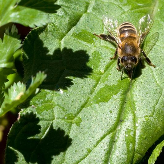 Bee on Comfrey Plant