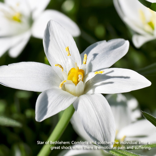 Bottlebrush | Flower Essences for the Loss of A Pet